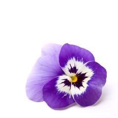 Blue Pansy flower ( Viola × wittrockiana )