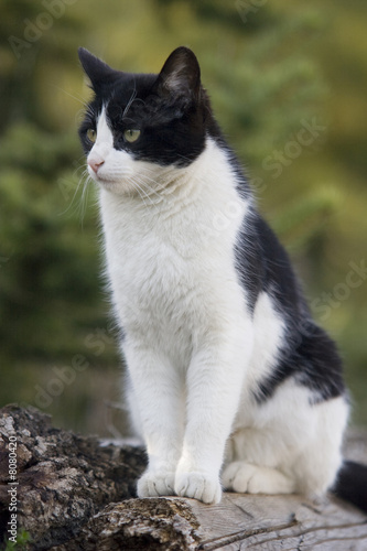 "Image De Chat Noir Et Blanc chat européen noir et blanc"" stock photo and royalty-free images on"