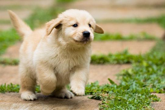 playful puppy running in the backyard