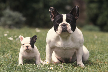 Photo sur Plexiglas Bouledogue français chienne et petit Bouledogue Français