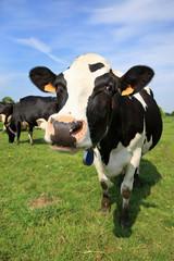 Vache accueillante