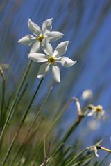 Papiers peints Narcisse narcisse des poetes - pyrenees orientales