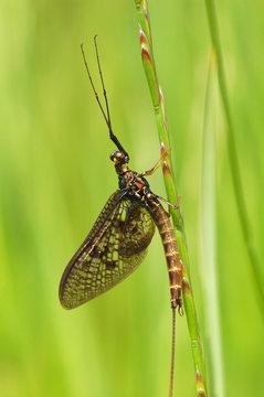harmless but still scary looking mayfly