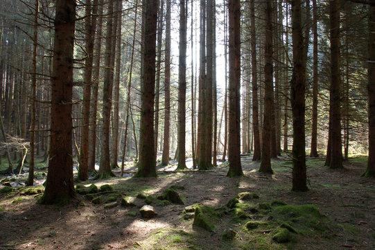 Forêt d'épicéas dans le morvan