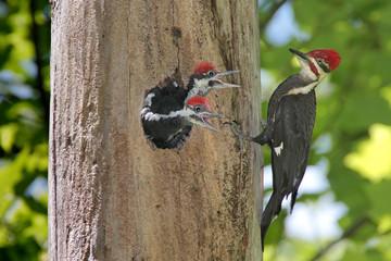Fotoväggar - Pileated Woodpecker (Dryocopus pileatus)