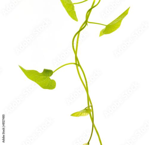 S rie plante liane isol e sur fond blanc photo libre for Plante 21 en ligne