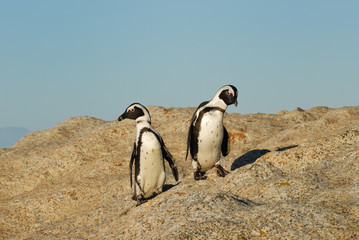 Funny Jackass Penguins