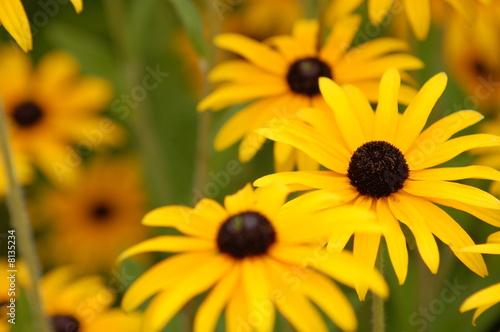 gelbe sommerblumen stockfotos und lizenzfreie bilder auf bild 8135234. Black Bedroom Furniture Sets. Home Design Ideas