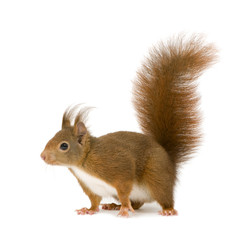 Photo sur Aluminium Squirrel Eurasian red squirrel - Sciurus vulgaris (2 years)