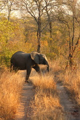 Elephant in Sabi Sands