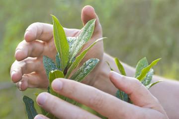 Hände schützen eine Pflanze