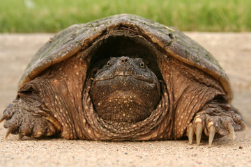 Snapping Turtle in Shell