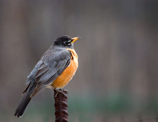 robin on stick with darkly grey background