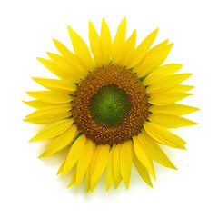 Sunflower flower isolated on white background