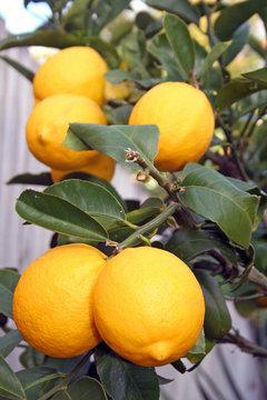 Yellow Meyer Lemons on Tree