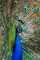 Peacock  peafowl with his tail feathers