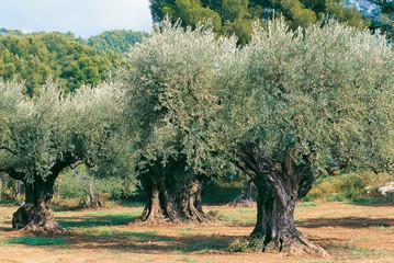 Photo sur Plexiglas Oliviers oliviers