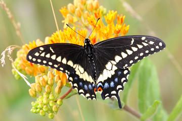 Fotoväggar - Black swallowtail Butterfly (Papilio polyxenes)