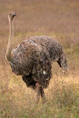 Ostrich in Serengeti, Africa
