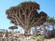Drachenblutbaum - Socotra - Jemen