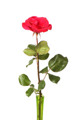 Red rose isolated on the white backgroumd