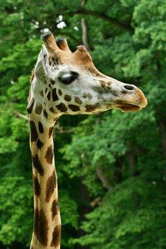 Closeup of Giraffe's head