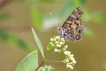 Fotoväggar - American Painted Lady Butterfly