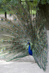 peacock with a tail