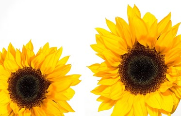 Vibrant Yellow Sunflowers on Wbite Background
