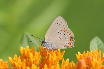 Fotoväggar - Coral Hairstreak Butterfly (Satyrium titus) on Milkweed Flowers