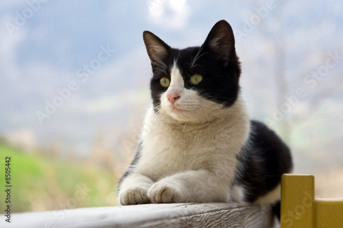 chat europ en noir et blanc photo libre de droits sur la banque d 39 images image. Black Bedroom Furniture Sets. Home Design Ideas