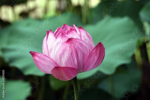 lotus blatt und bl te stockfotos und lizenzfreie bilder auf bild 8511400. Black Bedroom Furniture Sets. Home Design Ideas
