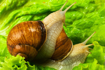 two snails on the green leaf