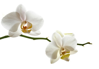 Door stickers Orchid Weisse Orchidee Zweig