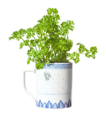 growing  parsley in a mug (windowsill gardening), iisolated