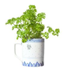 growing  parsley in a mug (windowsill gardening), iisolated