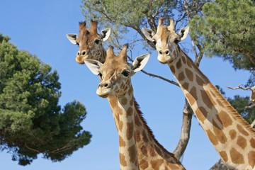 les trois girafes