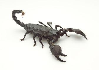 Scorpion Isomorphic