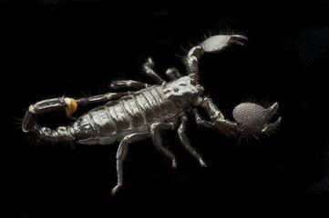 Scorpion on Black
