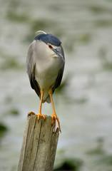 Nitticora bird