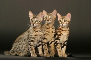 trois bengal glamour
