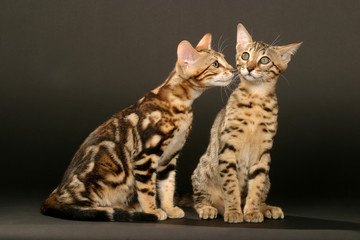 discussion entre deux bengals