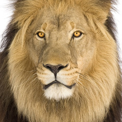 Close-up on a Lion's head (8 years) - Panthera leo