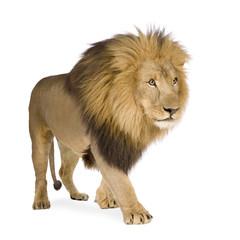 Foto auf Leinwand Löwe Lion (4 and a half years) - Panthera leo