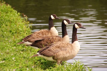 Canada geese at the waterfront