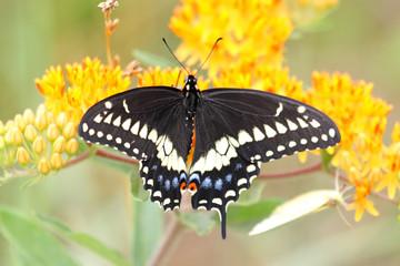 Fotoväggar - Black Swallowtail Butterfly