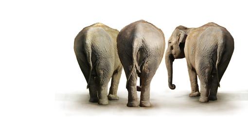 clan d'éléphant
