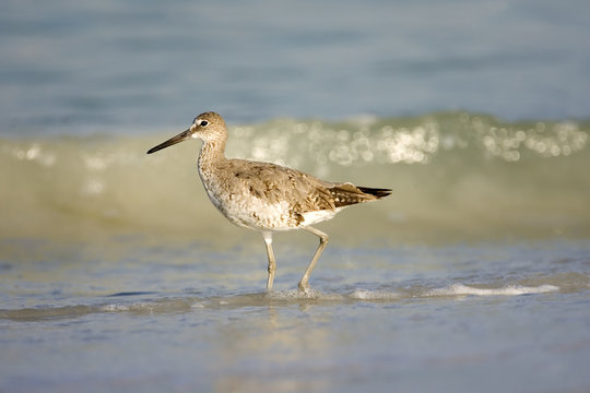 A Willet walks along the beach hunting for food