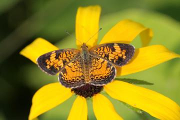 Fotoväggar - Pearl Crescent Butterfly (Phyciodes tharos)