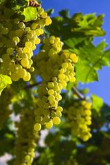 Vine of grapes under the sun